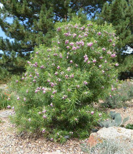 Desert Willow | Xeriscape plants, Plants, Water plants