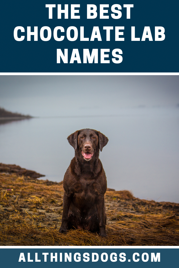 Best Chocolate Lab Names In 2020 Best Dog Names Chocolate Lab Girl Dog Names