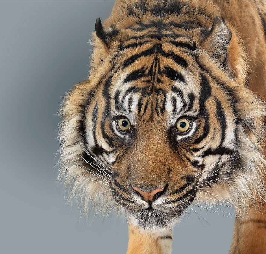 These Portraits Of Big Cats Reveal They All Have Different Characters 28 Pics Big Cats Pet Photography Studio Cats