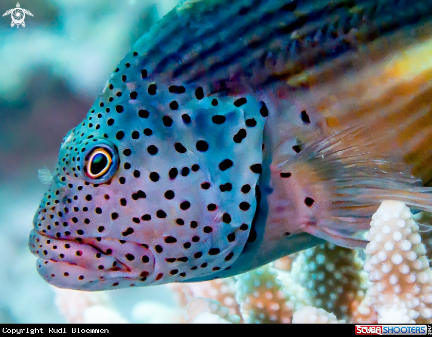 Forster's hawkfish in Red Sea