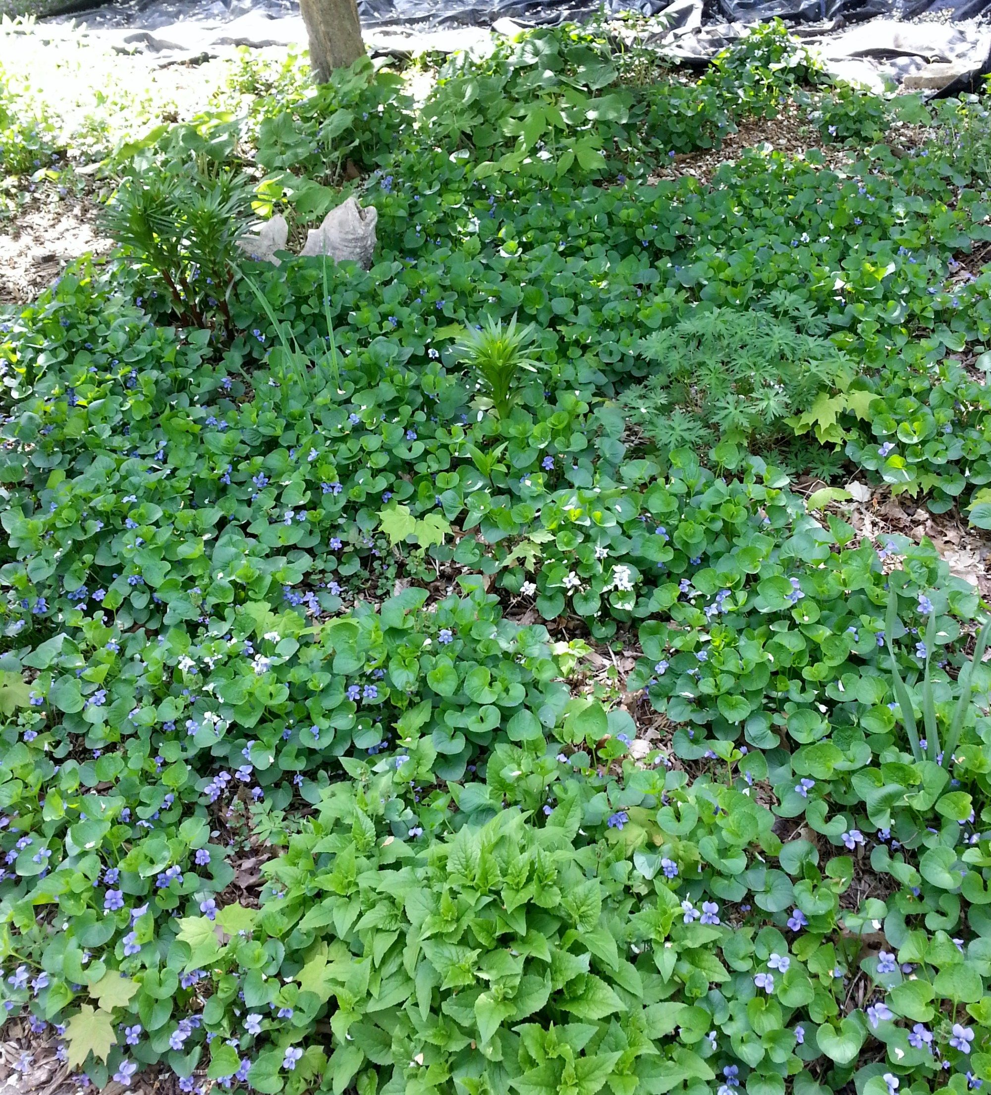 Canut beat uem eat uem edible weeds yards yard ideas and gardens