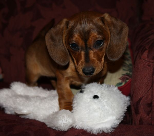Dachshund Breeder North Carolina English Cream Dachshunds