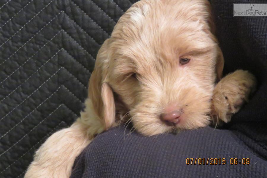 Miniature goldendoodles F1B Goldendoodle puppy for sale