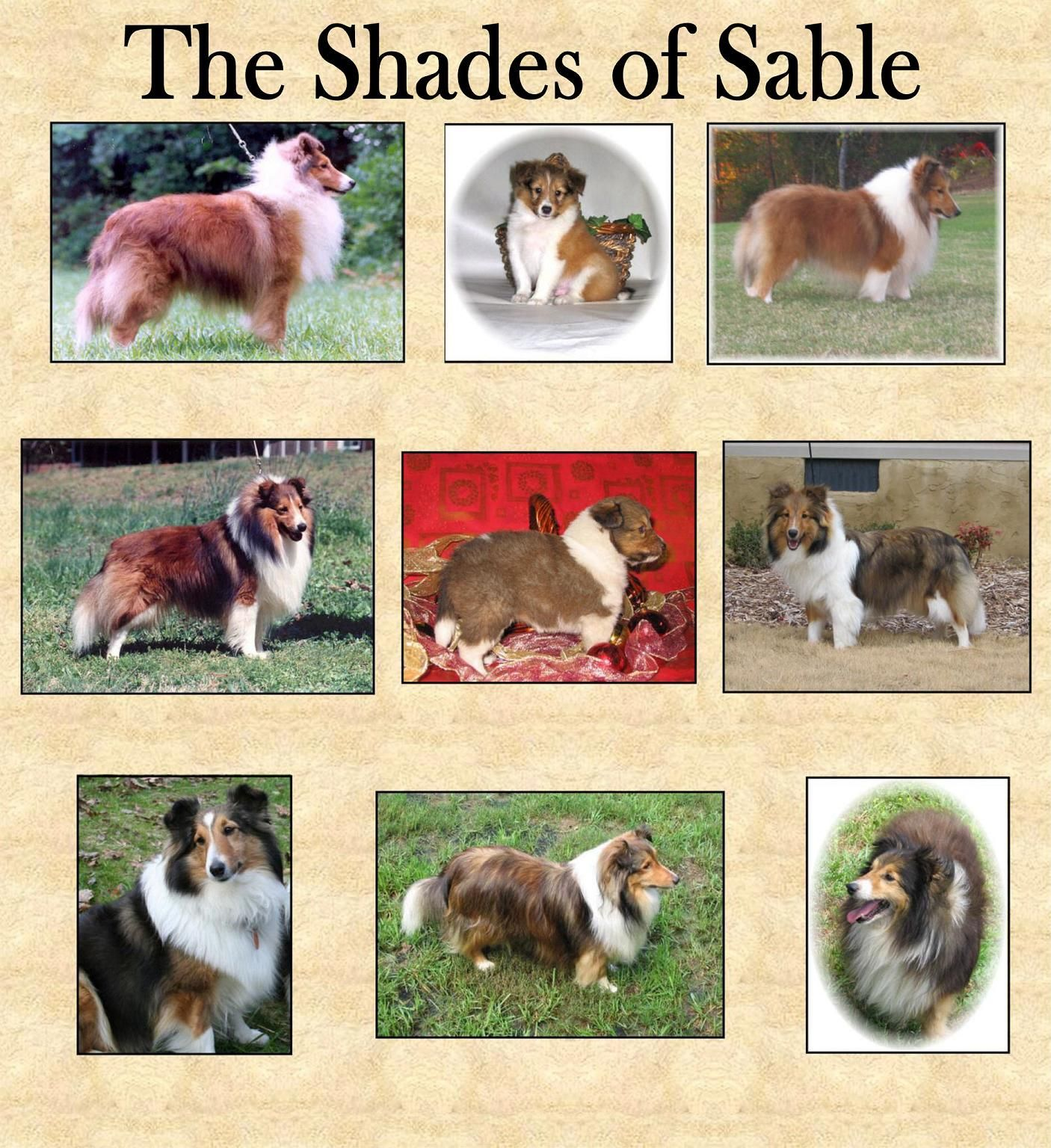 Sable Sheltie Sheltie Puppy Sheltie Puppies For Sale Sheep Dog Puppy