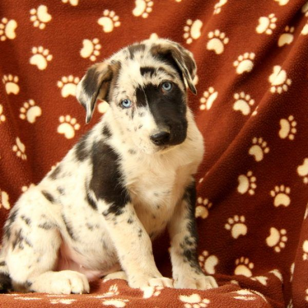 Toronto Siberian Husky Mix Puppy For Sale In Pennsylvania