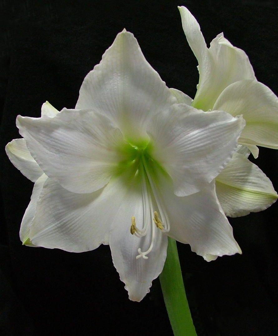 Photo Amaryllis Wedding Dance Amaryllis Flowers Bulb Flowers Hybrid Tea Roses