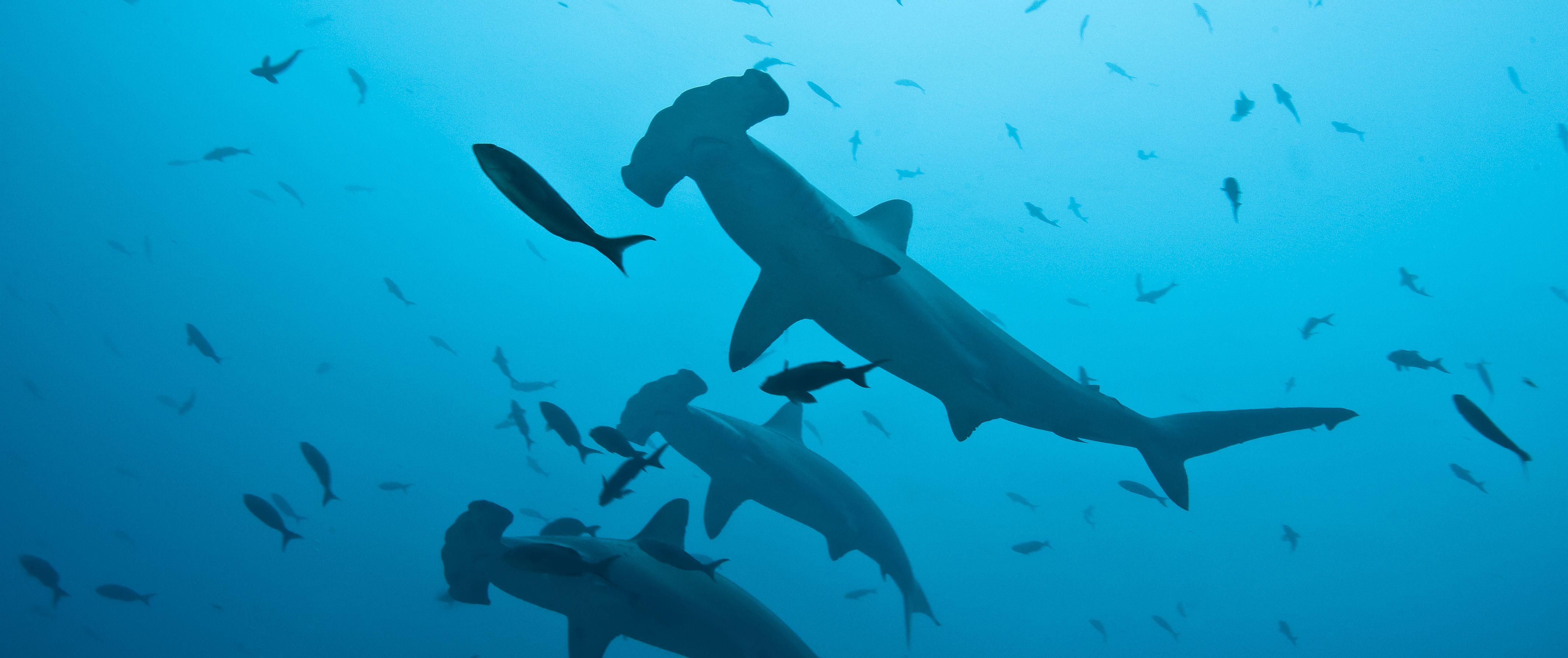 Peru Bans Landings of Shark Fins in a Bid to Protect Top Ocean Predators