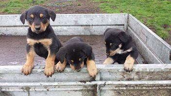 I Really Want A Huntaway Pup Awwww Pupieeeeeees Stumbled Upon
