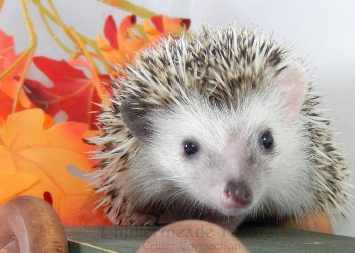 Available Hedgehogs - Millermeade Farm's Critter Connection:  Available Hedgehogs -Available