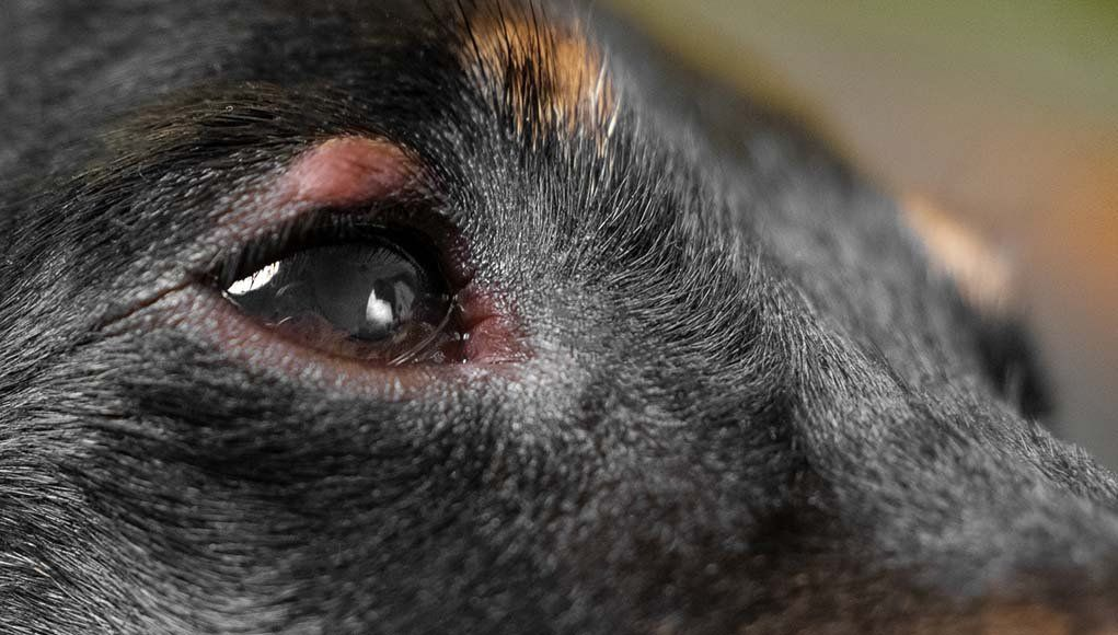 Dog eye allergies symptoms causes and treatments dog