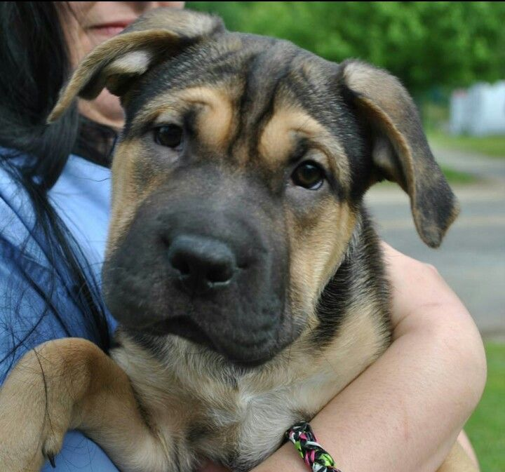 10 Month Shar Pei German Shepard Mix Looks Just Like My Maybes Cute Animals Cute Dogs Animals