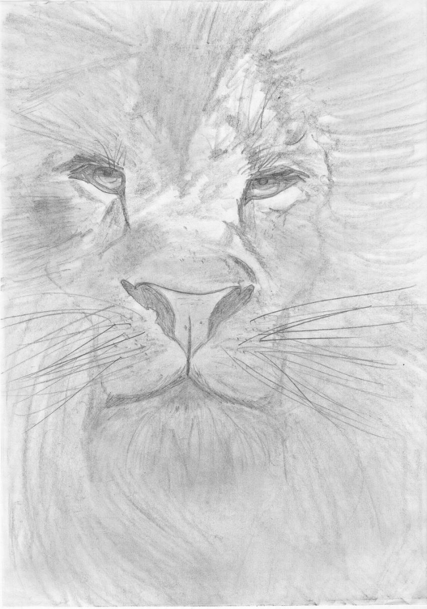 Lion in pencil shading