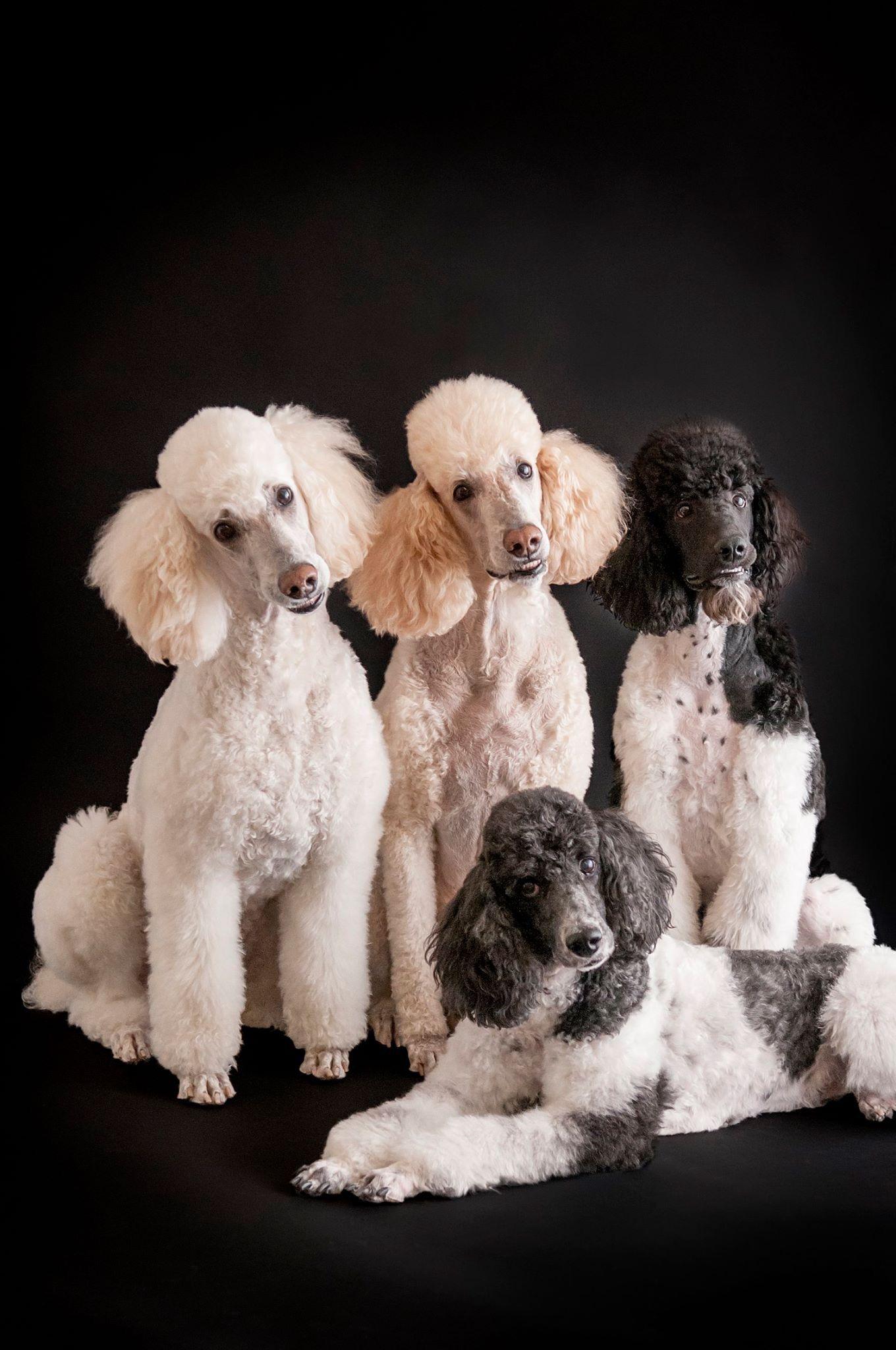 Black And White Delight Poodle Poodle Dog Dog Modeling