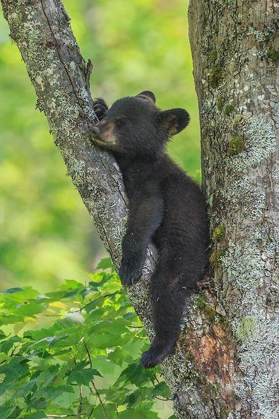 Nap time for bear cub