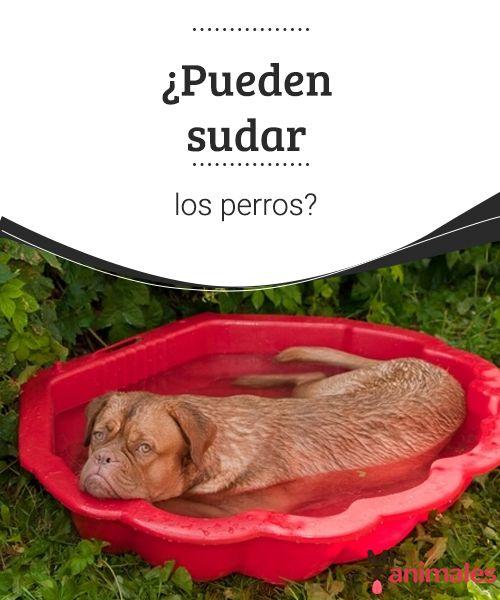 Pueden Sudar Los Perros Mis Animales Perros Perros Mascotas Cuidar Animales