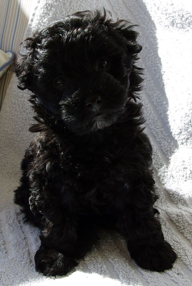 This Is Fergie My New Puppy She S A Terripoo And Is 8 Weeks Old