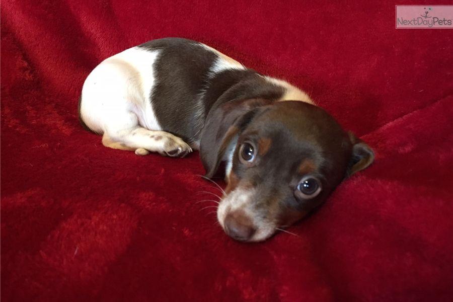Dachshund Mini Puppy For Sale Near Greensboro North Carolina