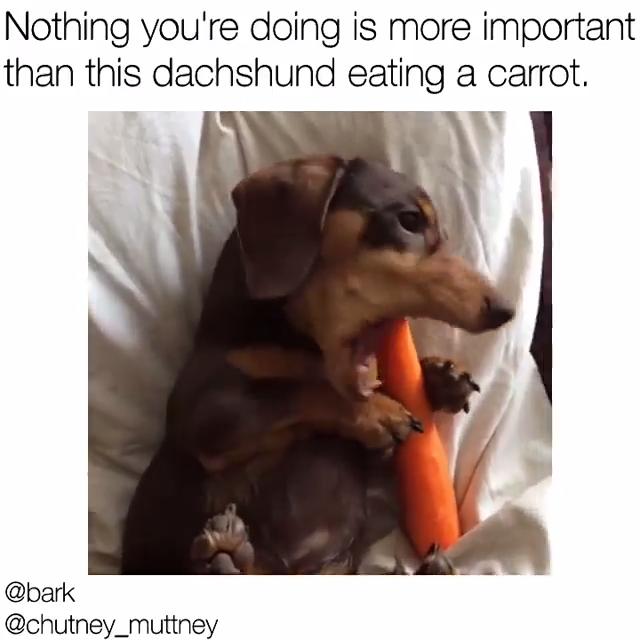 Dachshund Dog Meme Video Cute Dog Memes Funny Dachshund Funny Dog Memes