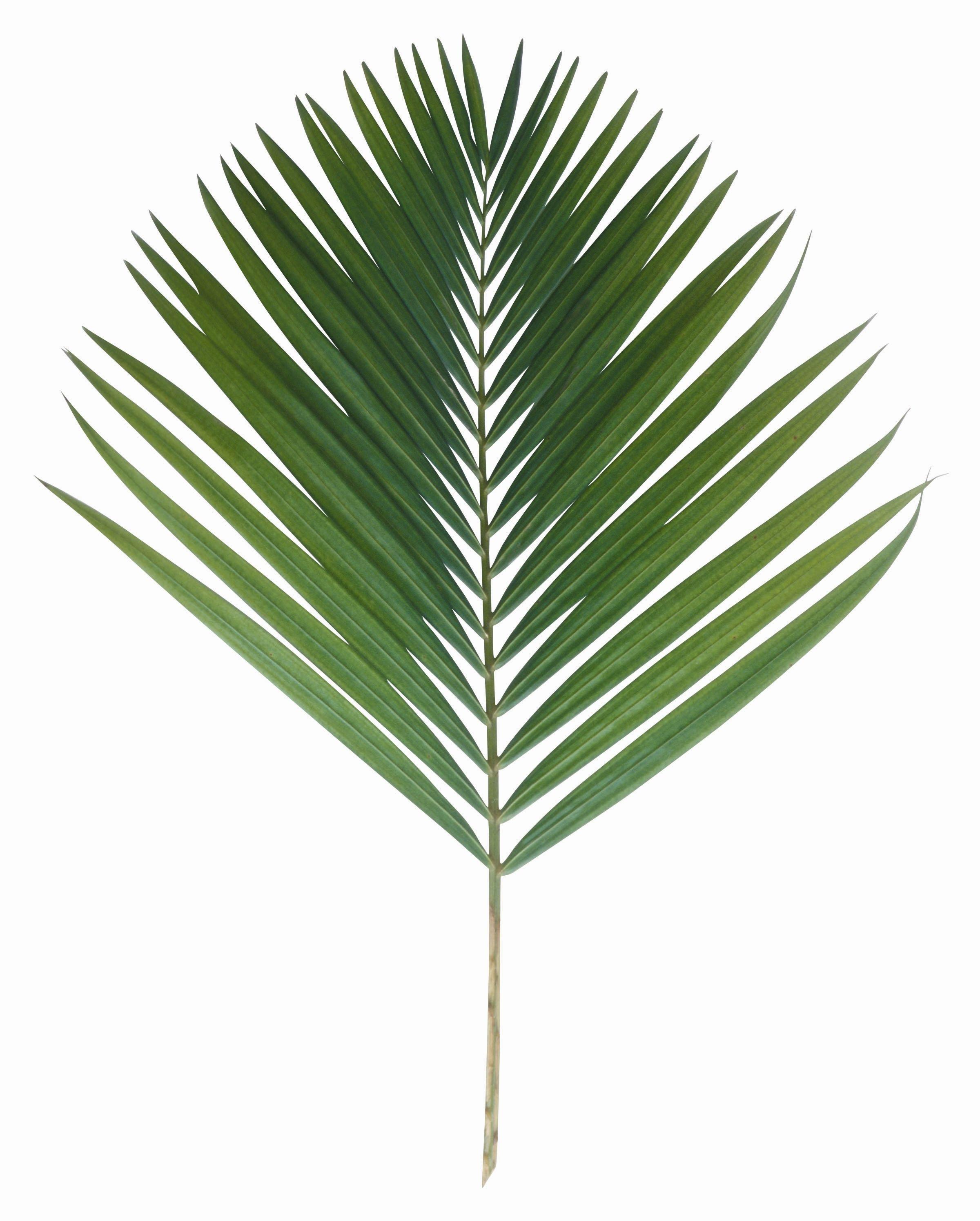 пальмовый листок картинка икра