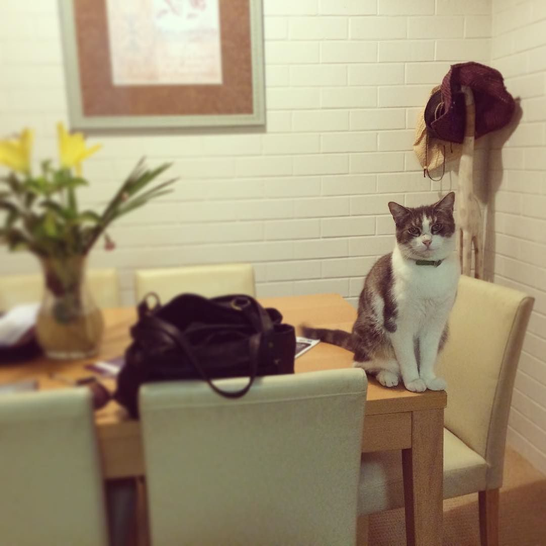 Misty On The Table Cat Cats Catlove Catlover Catlovers Catloving Catslover Catslove Petsofinstagram Pets Pet Cutec Cat Day Cat Love Beautiful Cats