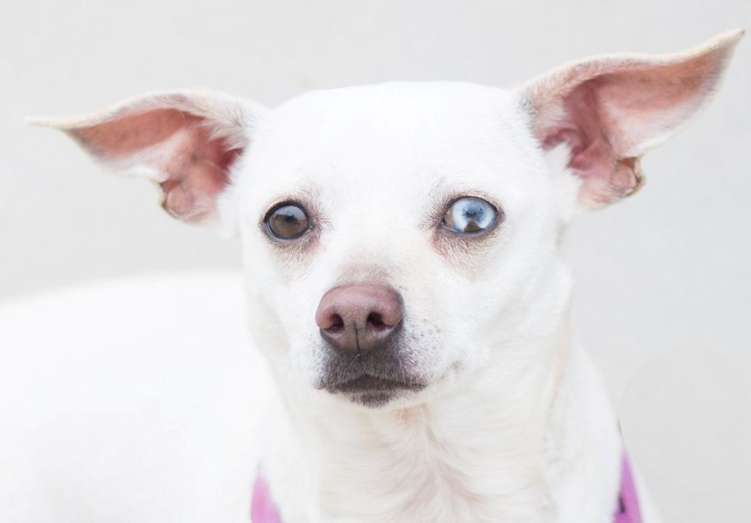 Adopt Gwendolyn On Dachshund Mix Pet Adoption Dogs