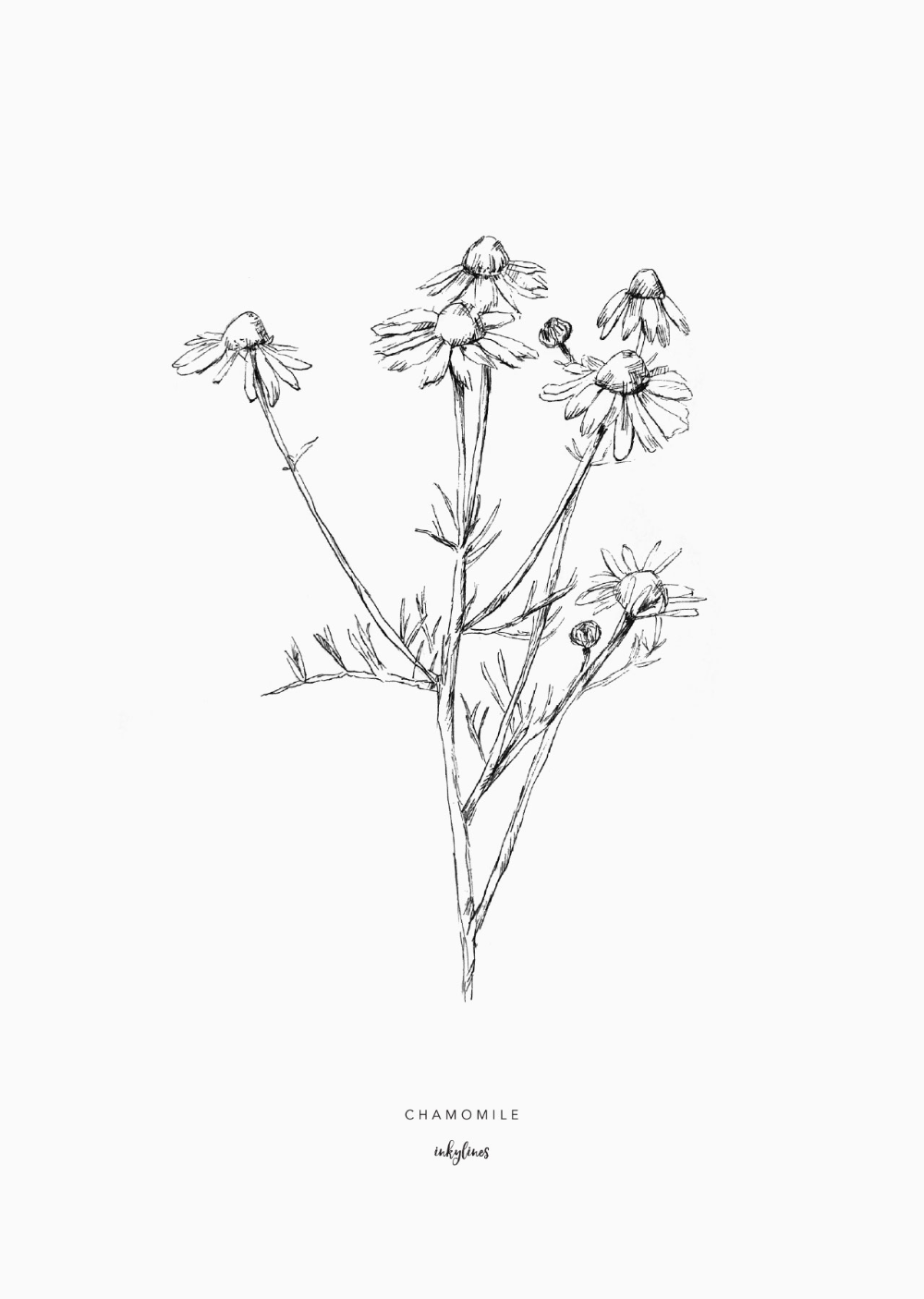 Flowers Chamomile In 2020 Flower Art Drawing Garden Tattoos Plant Sketches