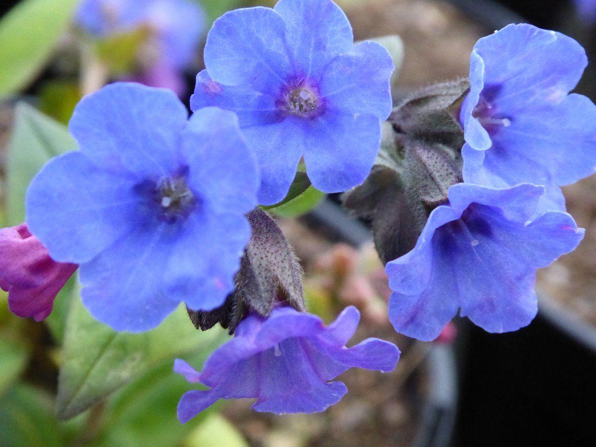 Pulmonaria I. E B Anderson 🌿 Garden plants for sale