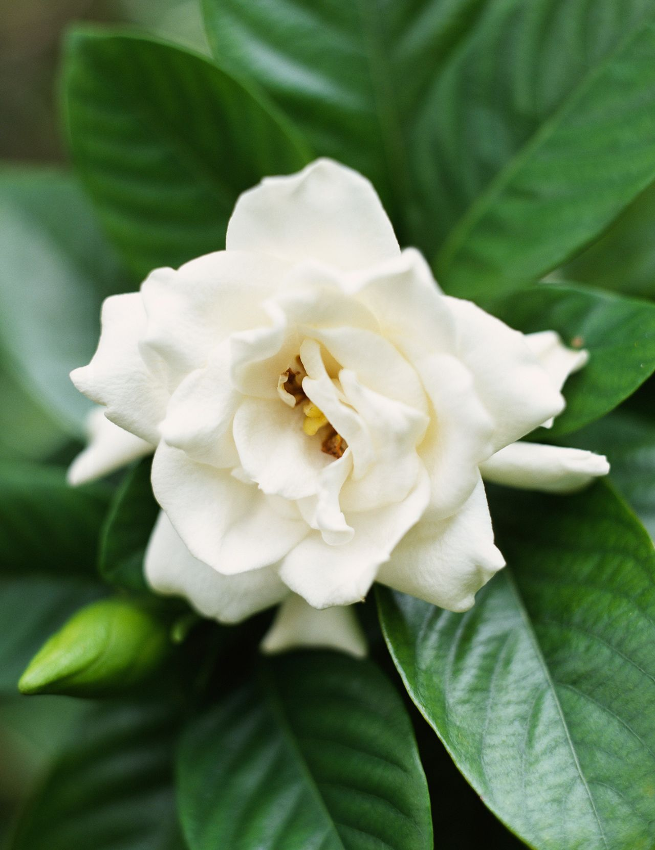 The 10 Most Fragrant Flowers To Plant In Your Garden In 2020 Fragrant Flowers Garden Flower Meanings Fragrant Flowers