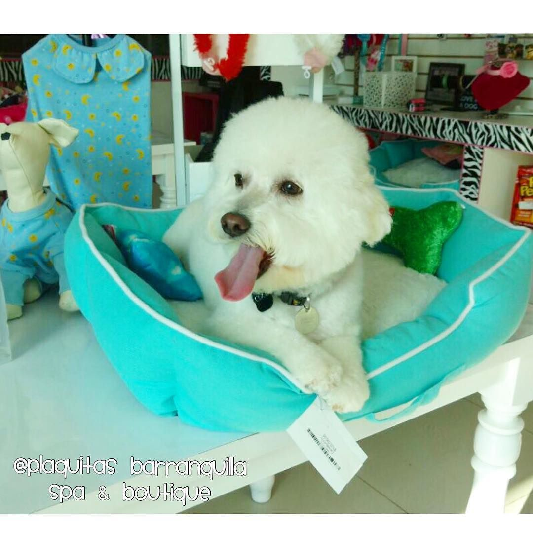 COQUITO  SIEMPRE BLANQUITO Y ESPONJOCITO  Luego del #Dogspa Mas deli del Mundo plaquitasbarranquilla #petstagram #dogdress #dogfashion #cachorro  #petstore #perritoscolombia #doglover  #doglove #dogshirt #petshop #maicao #cali #medellin #dogspa #petspa #cartagena #bogota #barranquilla #doggrooming #poodle  #adorabledog by plaquitasbarranquilla #lacyandpaws