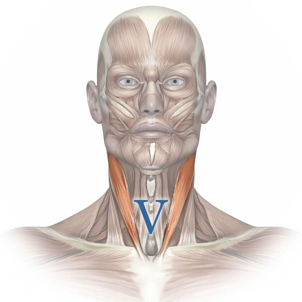 Diagram Of Sternocleidomastoid Muscle Showing The V Shape The Paired