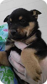 Halifax Nc Rottweiler Alaskan Malamute Mix Meet Amy A Puppy For Adoption Http Www Adoptapet Com Pet 12975595 Halifa Puppy Adoption Pets Kitten Adoption