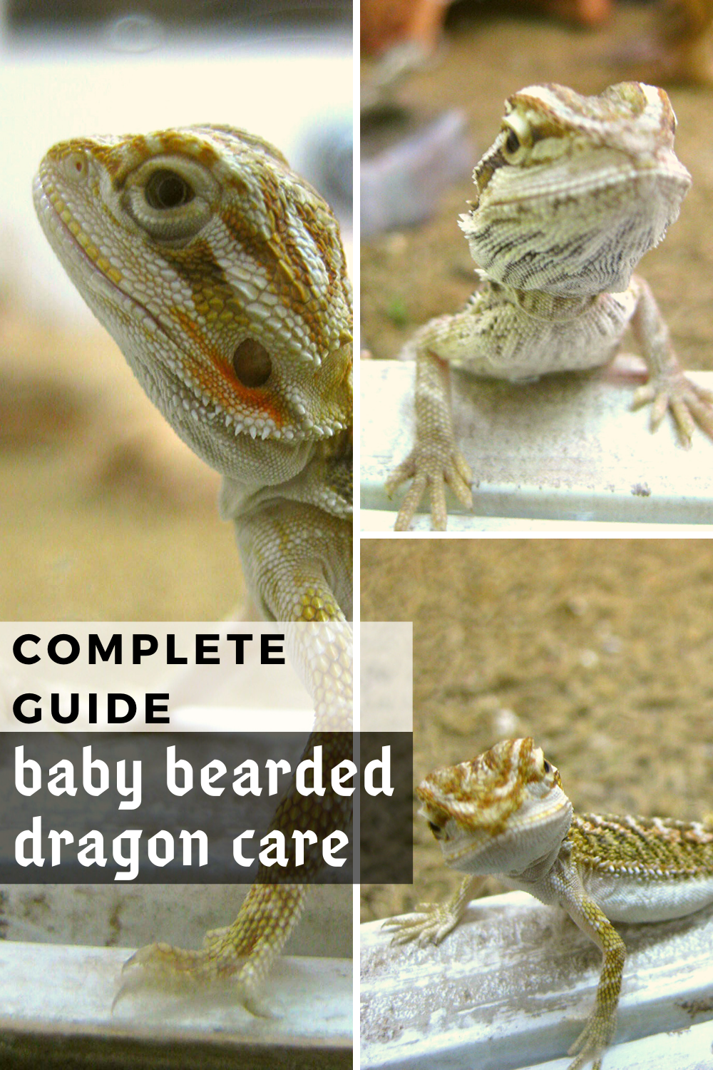 Baby bearded dragon care is a subject that every beginner owner should be familar about if they want to be a successful breeder or owner. There are multiple aspects to this, such as how to select a healthy baby bearded dragon, how to set up the terrarium for them, what are some of the best heat lamp and substrate liner flooring recommendations, accessories as well as what is a good healthy baby bearded dragon diet makeup. Photo Credit-Brenna, Flickr. #babybeardeddragon #babybeardeddragoncare