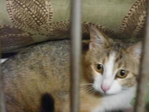 Adopt May On With Images Calico Cat Kittens Adoption