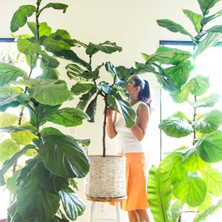 Grow beautiful Fiddle Leaf Fig trees easily using 5 essential care tips  tricks on fertilizer  soil water temperature pest control  some pro secrets  A Piece of Rainbow i...