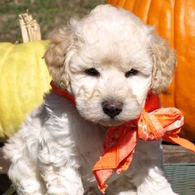Miniature Labradoodle Puppies Available in Phoenix
