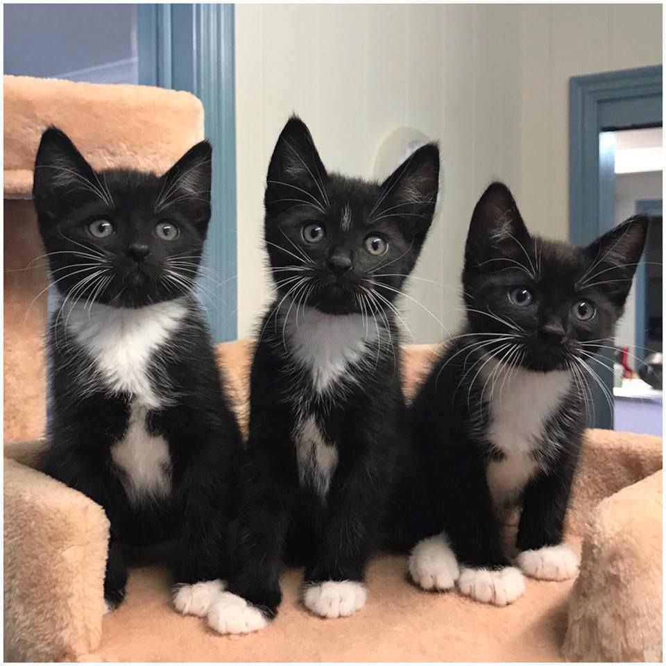 Three Tuxedo Kittens From Eatons Hill Veterinary Clinic In Brisbane Queensland Australia Pretty Cats Cute Cats Kittens Cutest