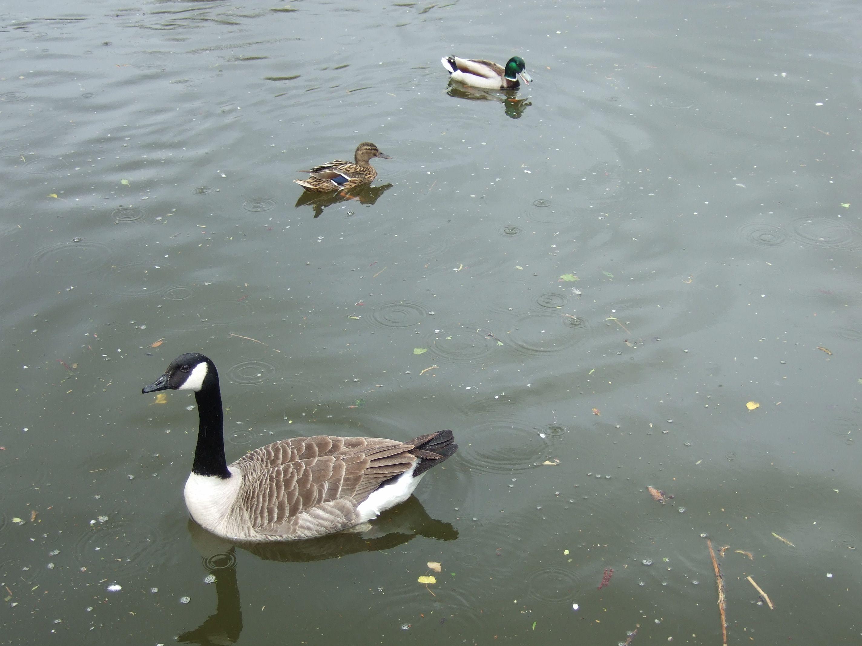Pin By Kelly Legrenzi On Nick Birds Birds 2 Duck