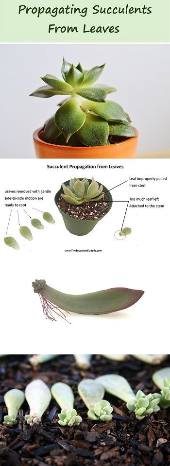 Propagating Succulents from Leaves   The Succulent Eclectic