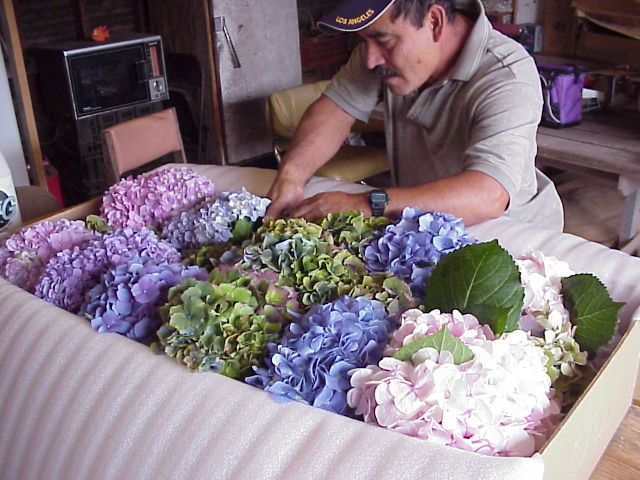 Very Cool Site With How To DIY Hydrangea Bouquets.