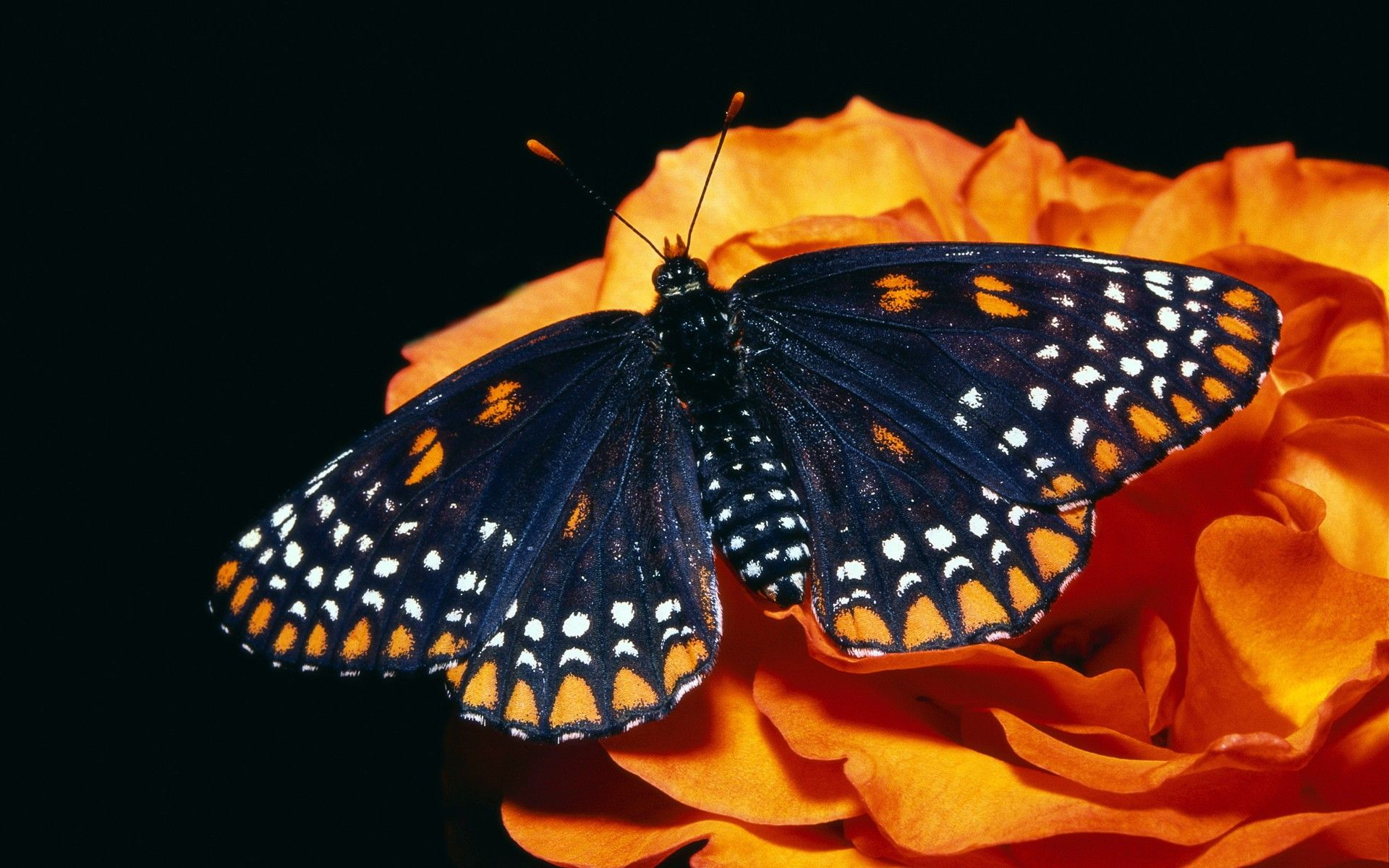 Baltimore Checkerspot Butterfly Euphydryas Phaeton Beautiful Butterflies Butterfly Wallpaper Beautiful Butterfly Photography