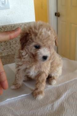 Ohmygosh I Love Apricot Colored Maltipoos Poodle Puppy