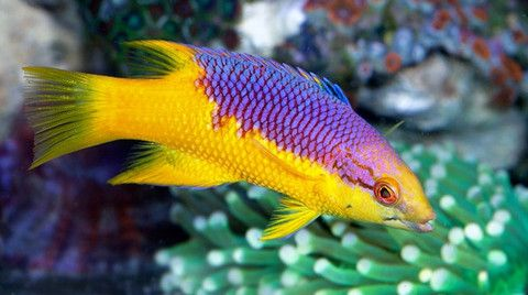 Buy Saltwater Hogfish Online Live Fish For Sale Saltwater Fish Tanks Hogfish Aquarium Fish