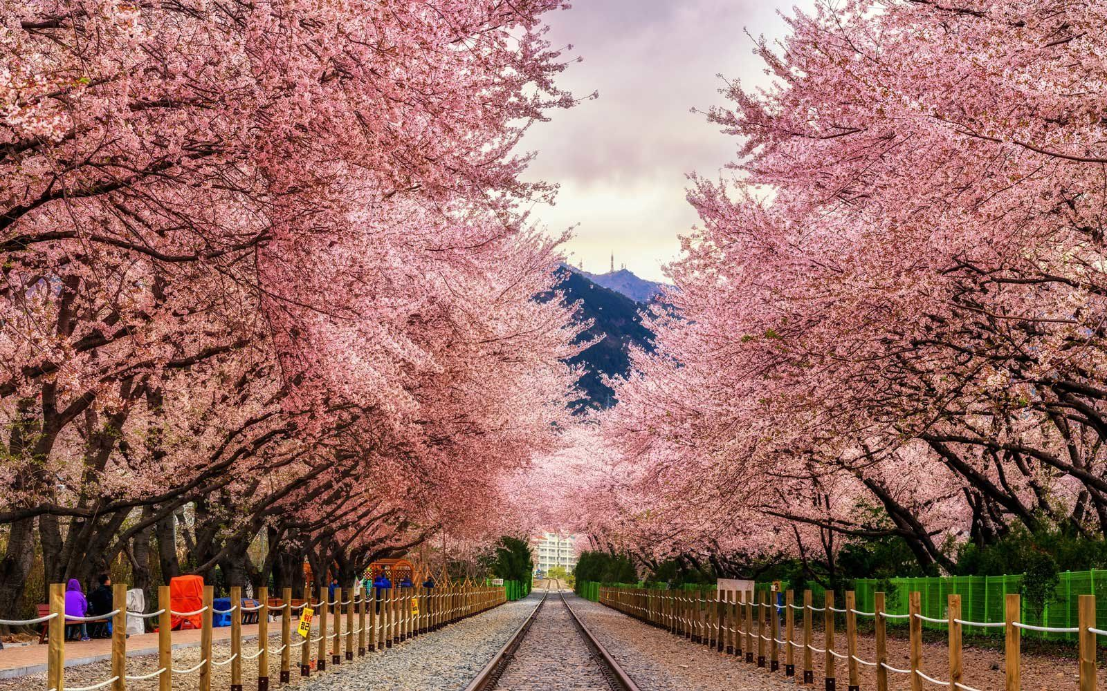 Fly To South Korea For Cherry Blossom Season For 445 Round Trip Paid Travel Places To Go Places To See