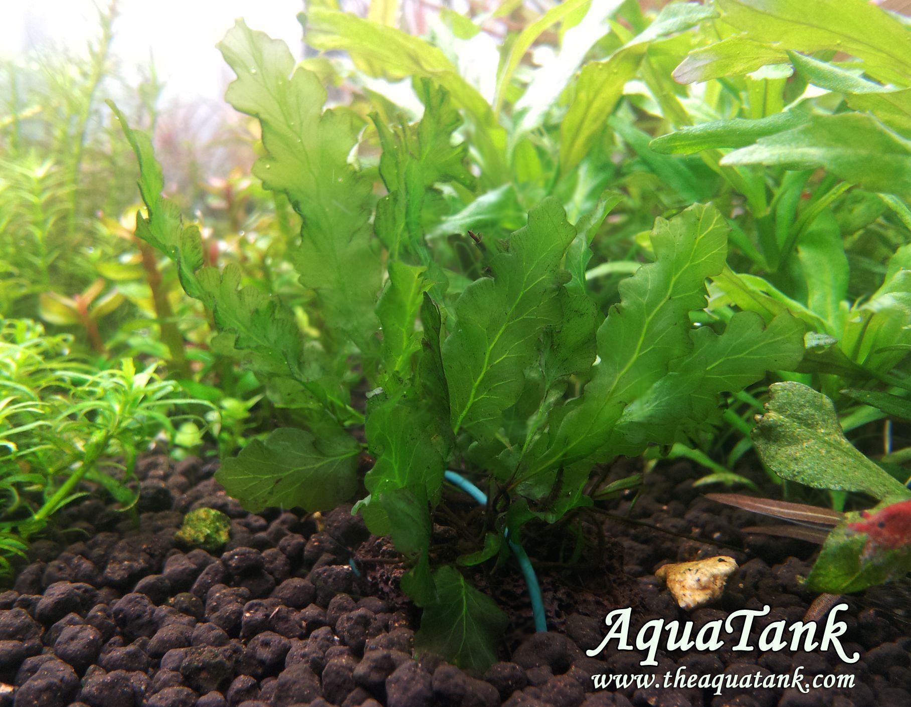 Bolbitis mini Trichomanes godmannii Aquascape plants