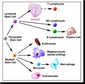 Stem Cells Charts Gungozq Eye