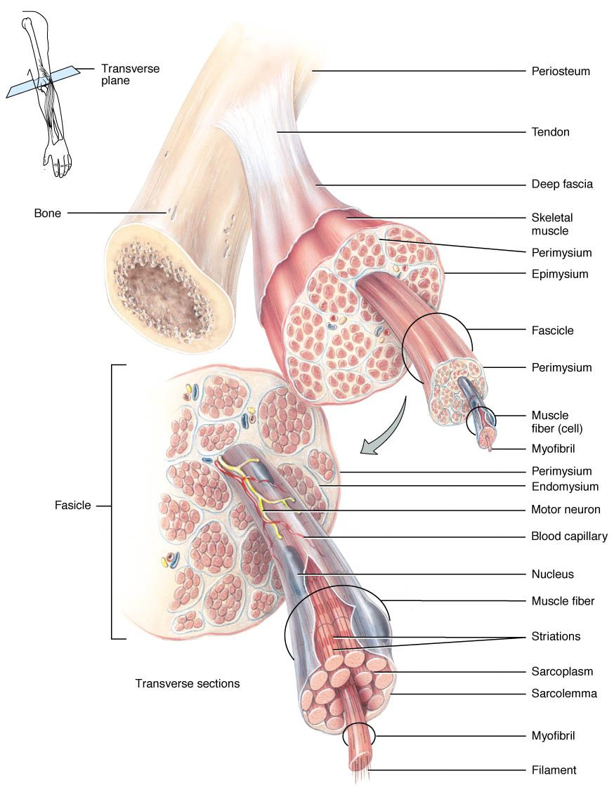 Muscle Phys & Muscle Naming | Medical Assistant | Pinterest