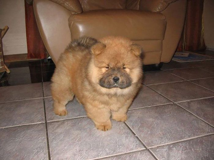 Most Inspiring Chow Chow Chubby Adorable Dog - a76d171a1ae6cd36f23697f40a9517c7  Gallery_146558  .jpg