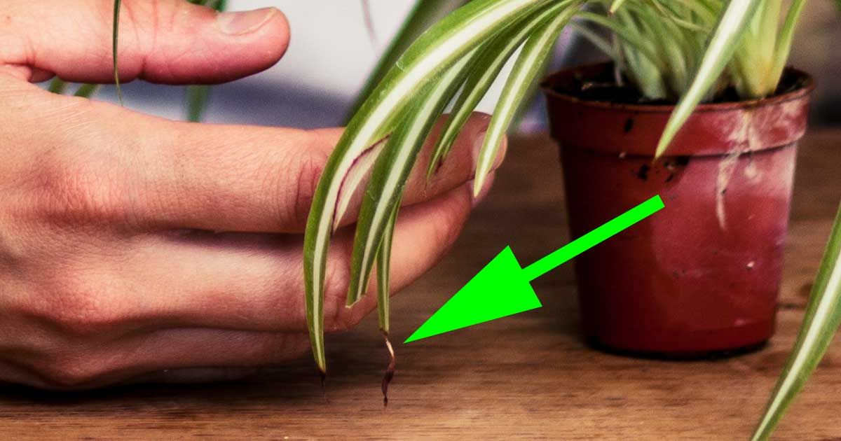 Brown Tips On Houseplants Leaves A Reason Why With Images Plants House Plants Indoor House Plants