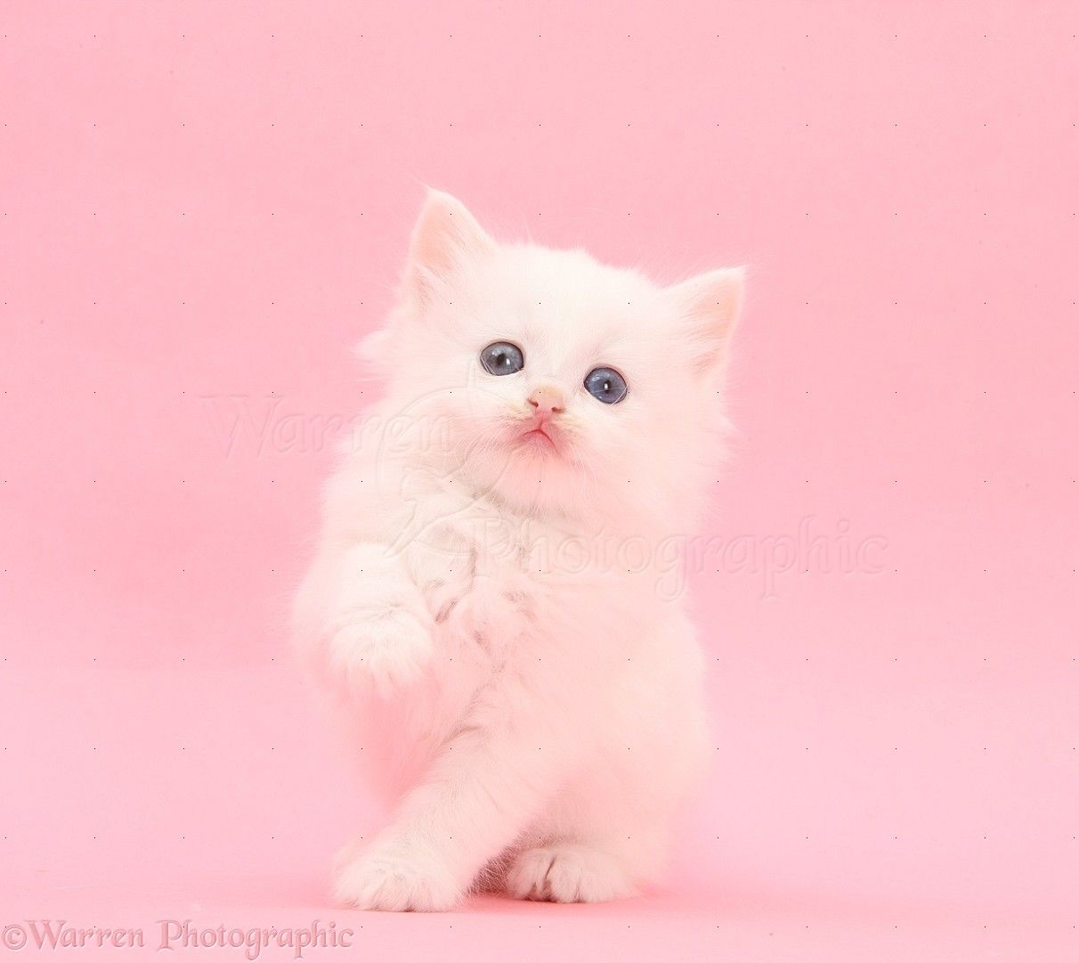 White Kitten On Pink Background Photo White Kittens Cool Cat Toys Cute Cat