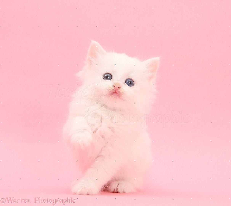 White Kitten On Pink Background Photo White Kittens Pink Background Kitten Images